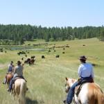 Koeien halen in Wyoming USA