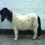 Een pony met PPID. De lange en krullerige vacht is specifiek van PPID (foto met dank aan Boehringer Ingelheim)